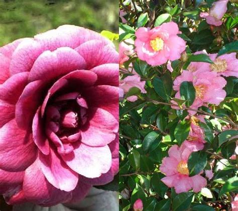 Camellia Shrubs and Trees For Sale Online with UK delivery