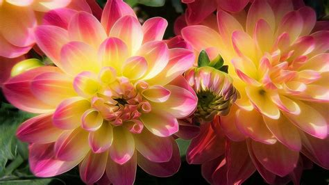 Dahlia Flowers With Yellow And Pink Wallpaper For Pc