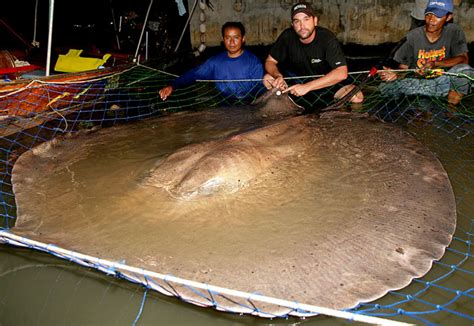 Absurd Creature of the Week: The Half-Ton Giant Freshwater