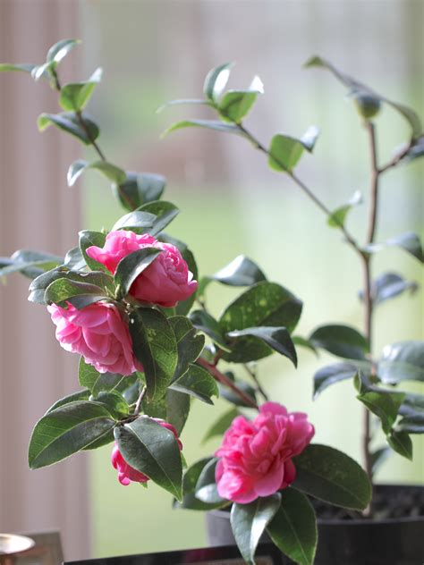 In A Vase On Monday – Forcing Camellias